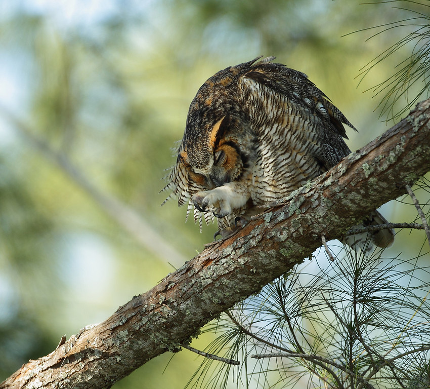 IMAGE: http://www.mikeswildlife.com/Other/Birds-of-Prey-1/i-D4wq7WL/0/XL/073-XL.jpg