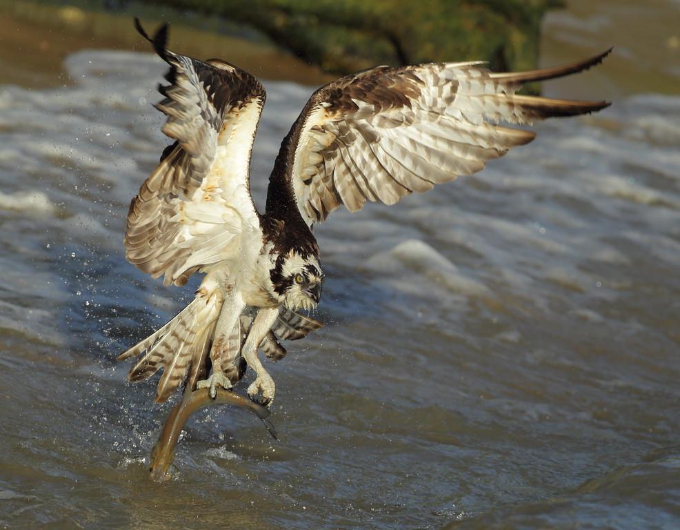 IMAGE: https://photos.smugmug.com/Other/Birds-of-Prey-1/i-GBLmCGB/0/d2db0cdc/XL/BB8I4271-XL.jpg