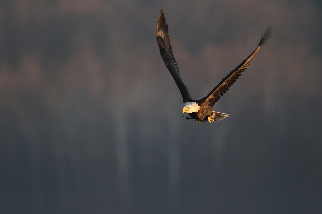 IMAGE: https://photos.smugmug.com/Other/Birds-of-Prey-1/i-JPxgzPL/0/7a38b0f6/XL/BB8I2690-2-XL.jpg