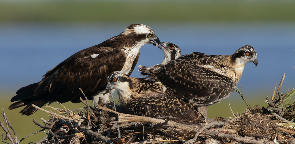 IMAGE: http://www.mikeswildlife.com/Other/Birds-of-Prey-1/i-JXdzp68/0/XL/479-2-XL.jpg