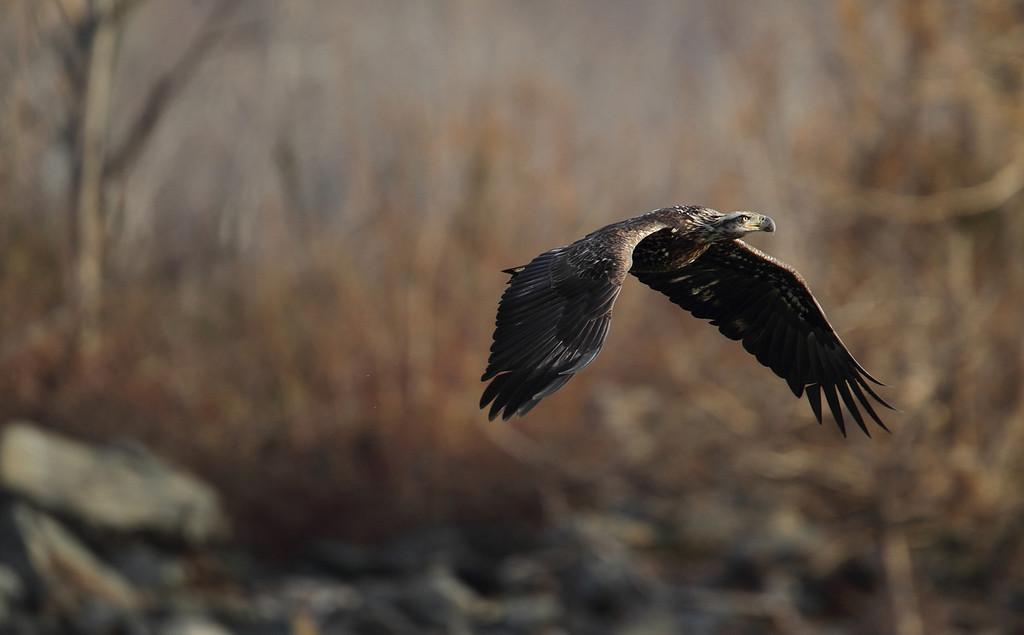 IMAGE: http://www.mikeswildlife.com/Other/Birds-of-Prey-1/i-KsTMrWT/0/XL/404-XL.jpg