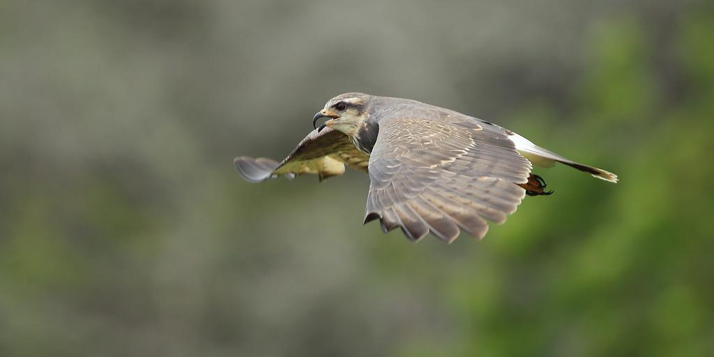 IMAGE: https://photos.smugmug.com/Other/Birds-of-Prey-1/i-PHwKHxG/0/5fa39f00/XL/BB8I2487-XL.jpg