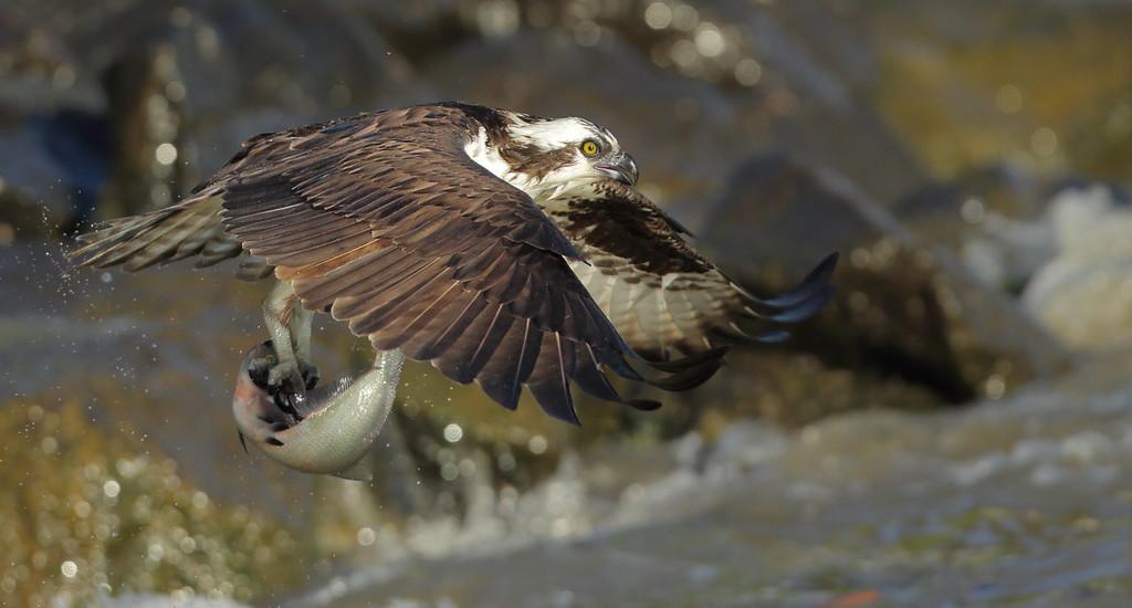 IMAGE: https://photos.smugmug.com/Other/Birds-of-Prey-1/i-SMKJ4FC/0/efb1594c/XL/BB8I6456-XL.jpg
