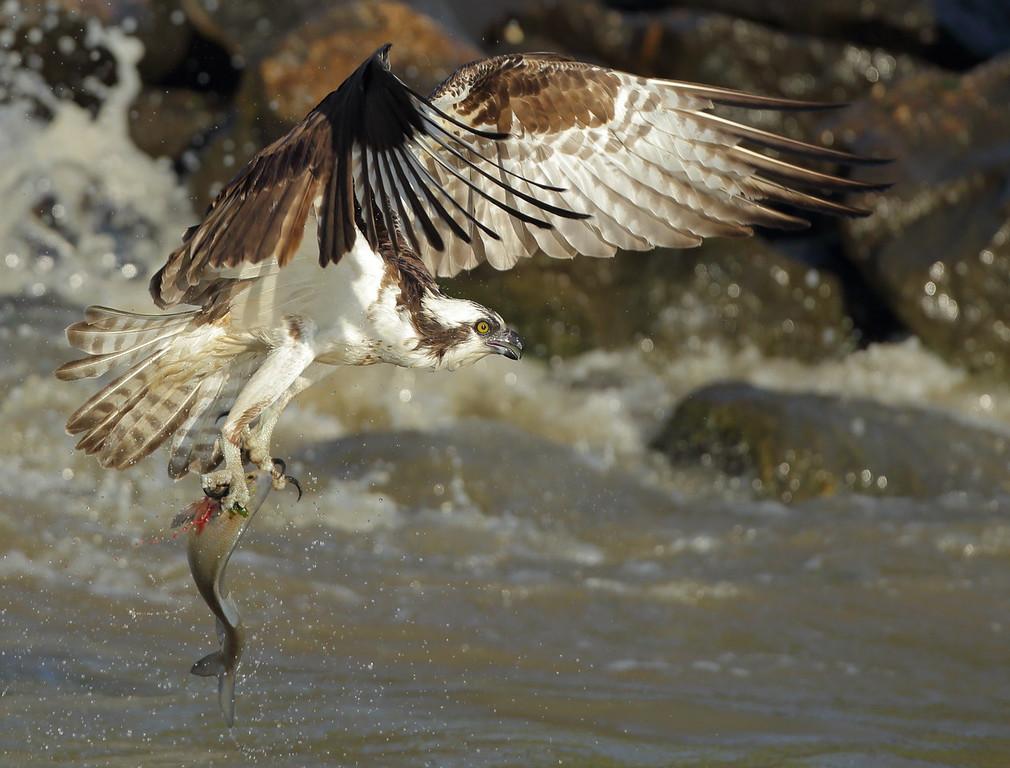 IMAGE: https://photos.smugmug.com/Other/Birds-of-Prey-1/i-Sd7zjZW/0/898d827f/XL/BB8I6452-XL.jpg
