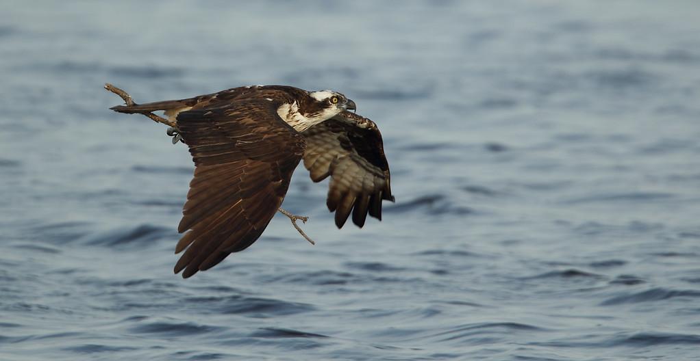 IMAGE: http://www.mikeswildlife.com/Other/Birds-of-Prey-1/i-TLZNsjD/0/XL/355-XL.jpg