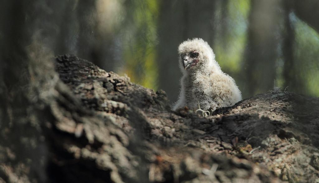 IMAGE: https://photos.smugmug.com/Other/Birds-of-Prey-1/i-TjncStw/0/b0886f7c/XL/1232-XL.jpg