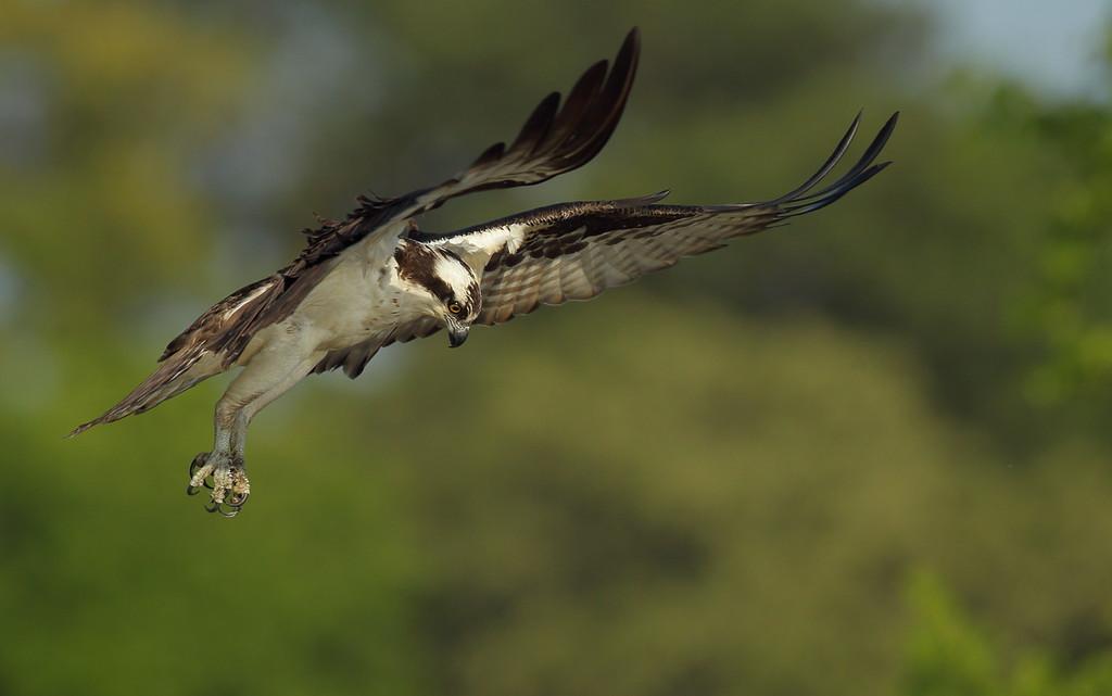 IMAGE: https://photos.smugmug.com/Other/Birds-of-Prey-1/i-V7tDWvN/0/c7a990bc/XL/BB8I8857-2-XL.jpg
