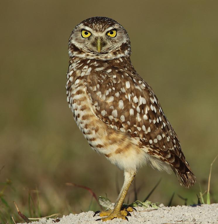 IMAGE: http://www.mikeswildlife.com/Other/Birds-of-Prey-1/i-bK9TtcV/0/XL/822-XL.jpg