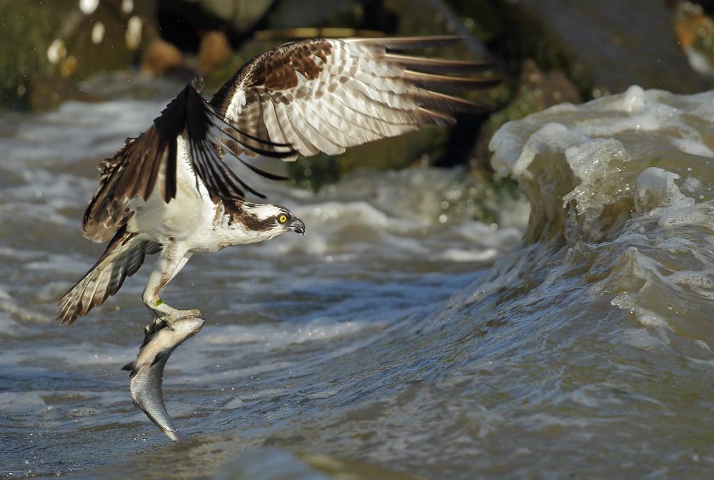 IMAGE: https://photos.smugmug.com/Other/Birds-of-Prey-1/i-dw32ZrK/0/da27ebc1/XL/BB8I6408-XL.jpg