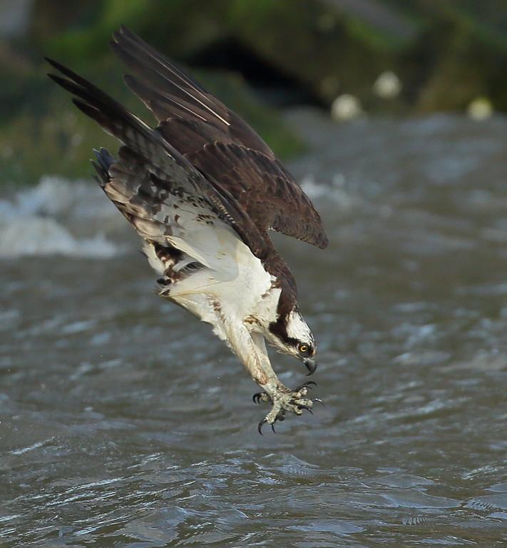 IMAGE: https://photos.smugmug.com/Other/Birds-of-Prey-1/i-fbNXJ2c/0/4da61585/XL/BB8I7730-XL.jpg