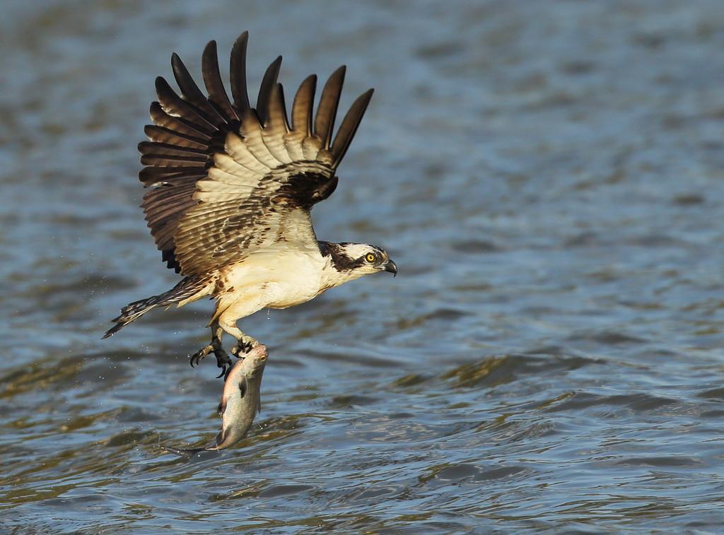 IMAGE: https://photos.smugmug.com/Other/Birds-of-Prey-1/i-fjVtshw/0/32922e1e/XL/BB8I7855-XL.jpg