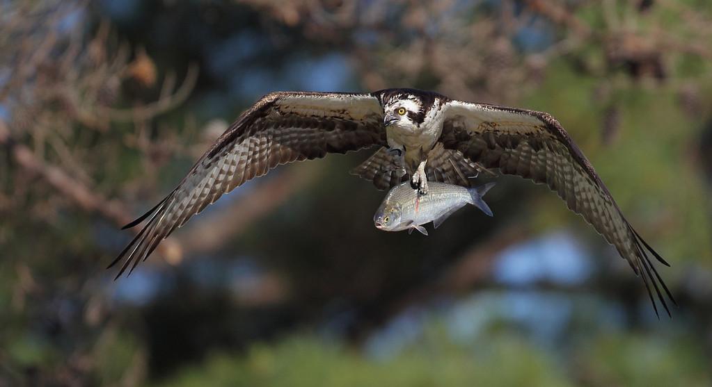 IMAGE: http://www.mikeswildlife.com/Other/Birds-of-Prey-1/i-fr6jHP2/0/XL/285-XL.jpg