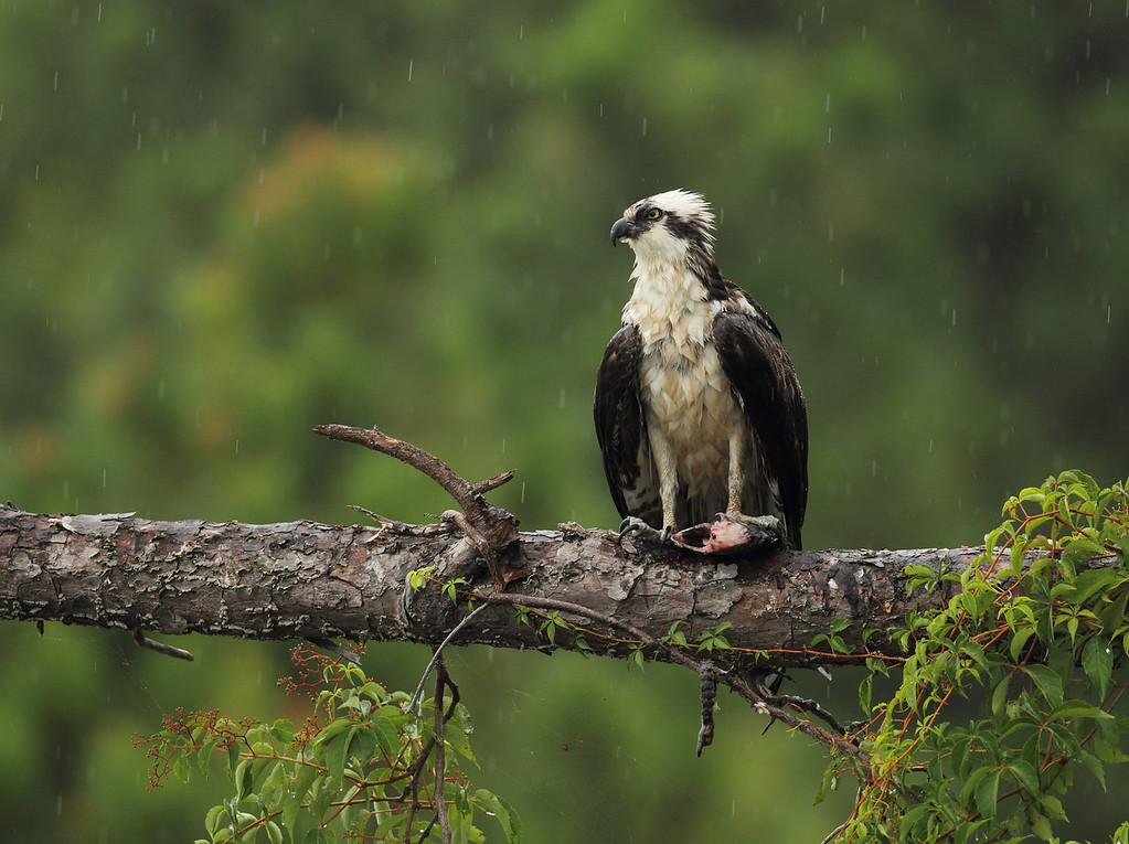 IMAGE: https://photos.smugmug.com/Other/Birds-of-Prey-1/i-fsthfMV/1/XL/568-XL.jpg