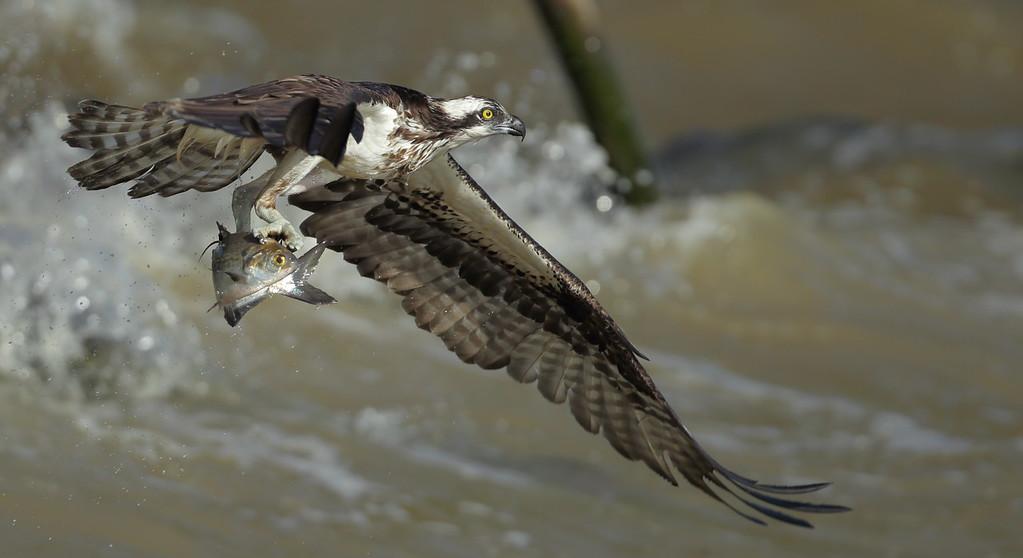 IMAGE: https://photos.smugmug.com/Other/Birds-of-Prey-1/i-gbJ8kjP/0/e0e80156/XL/BB8I3682-XL.jpg