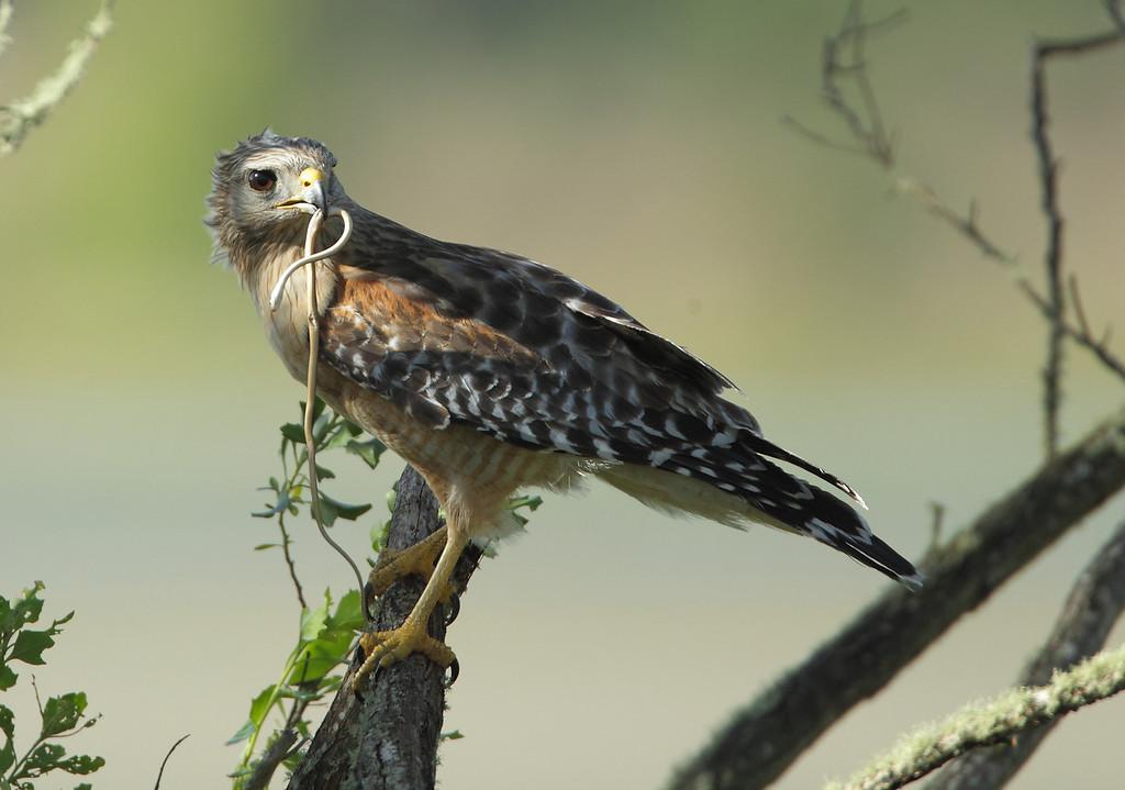 IMAGE: http://www.mikeswildlife.com/Other/Birds-of-Prey-1/i-gtsgQsh/0/XL/2101-XL.jpg