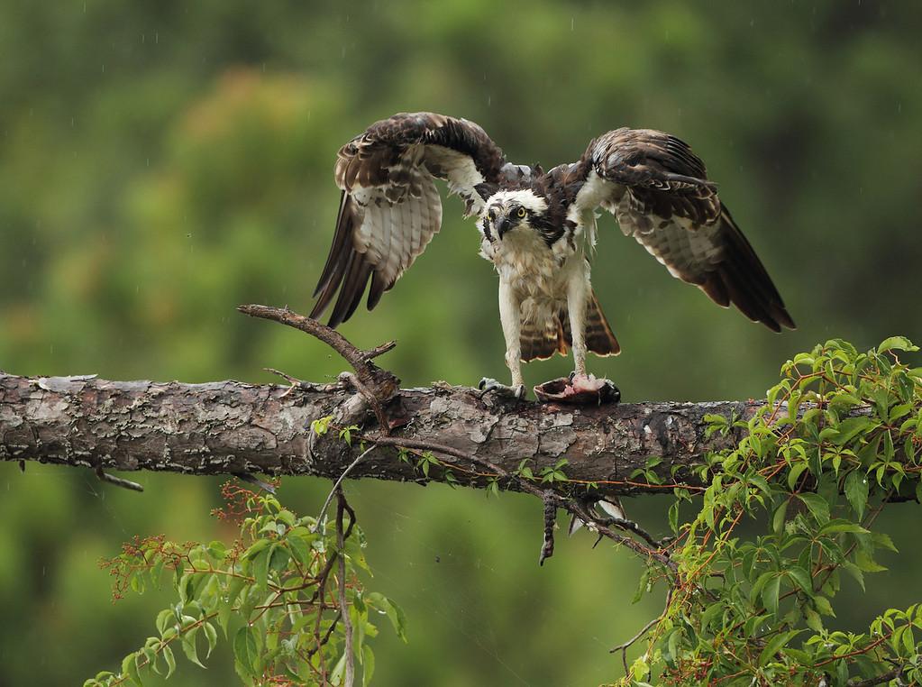 IMAGE: https://photos.smugmug.com/Other/Birds-of-Prey-1/i-hBTSfML/1/XL/574-XL.jpg