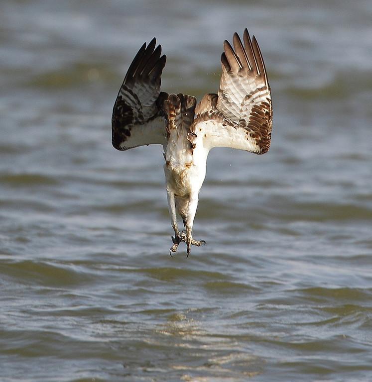IMAGE: http://www.mikeswildlife.com/Animals/Birds-of-Prey-1/i-jDvSRTZ/0/XL/082-2-XL.jpg