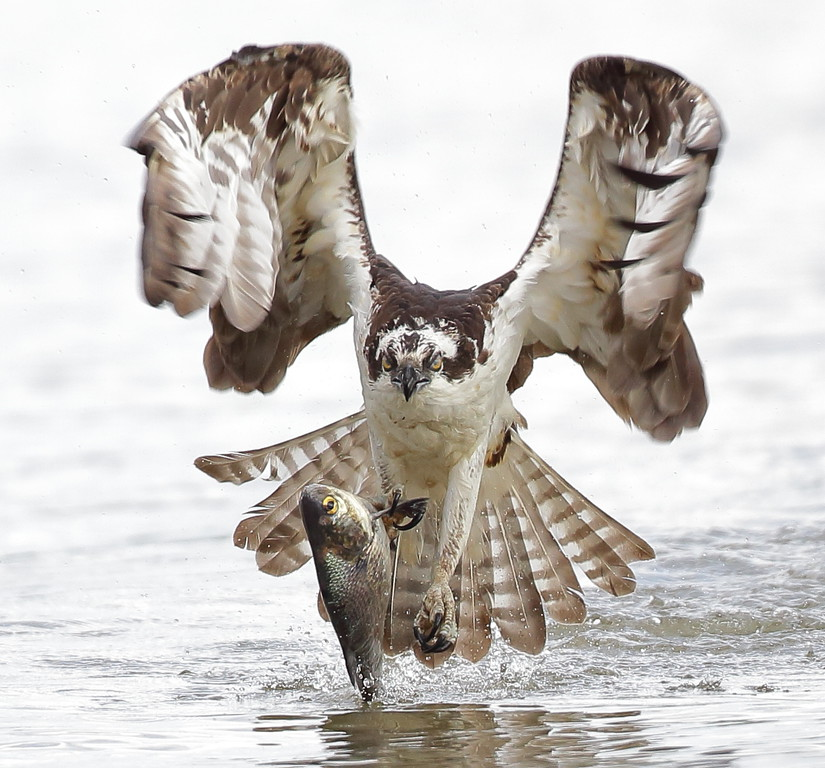 IMAGE: https://photos.smugmug.com/Other/Birds-of-Prey-1/i-n9fXTKp/0/e025c947/XL/195-2-XL.jpg