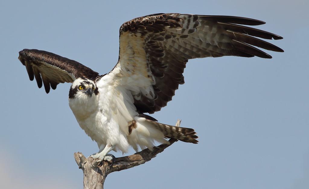 IMAGE: https://photos.smugmug.com/Other/Birds-of-Prey-1/i-t69c3M7/0/cf93798f/XL/123-2-XL.jpg
