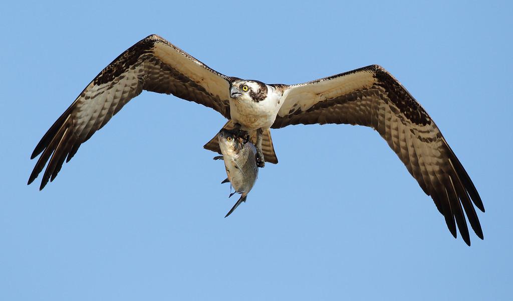 IMAGE: http://www.mikeswildlife.com/Animals/Birds-of-Prey-1/i-wFxZNPt/0/XL/243-2-XL.jpg