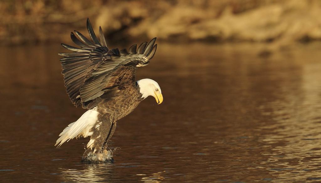 IMAGE: https://photos.smugmug.com/Other/Birds-of-Prey-1/i-xDWZJvp/0/09f87e82/XL/085-2-XL.jpg