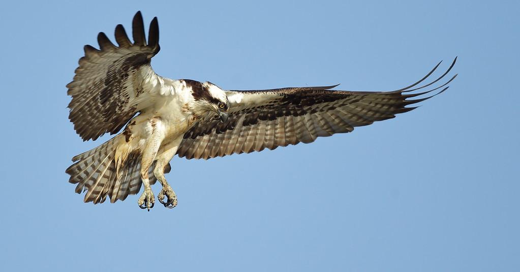 IMAGE: https://photos.smugmug.com/Other/Birds-of-Prey-1/i-z3vtMHR/0/babd96d3/XL/BB8I7684-XL.jpg