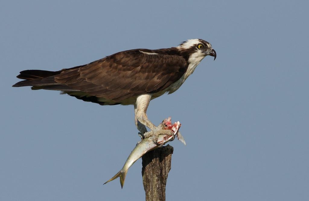 IMAGE: http://www.mikeswildlife.com/Other/Birds-of-Prey-1/i-zCXqzkR/0/XL/583-XL.jpg