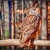 Eurasian Eagle Owl 1 - CRC