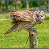 Ural Owl - Success, it has the bait - 3 AC