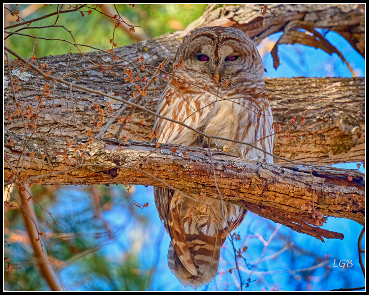 Barred Owl - Chapel Hill 2 (not captive)
