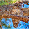 Barred Owl - Chapel Hill 2 (not captive)