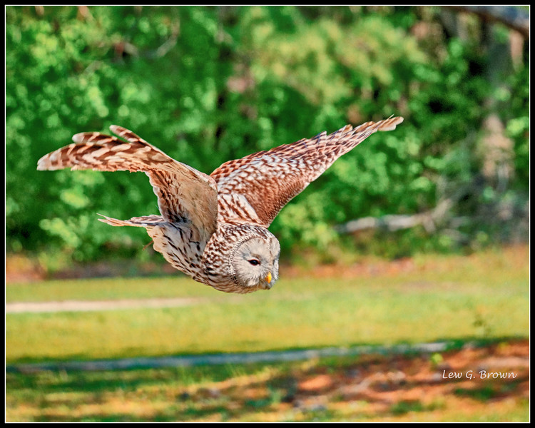 Ural Owl, flying free and seeing bait -1 AC