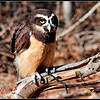 Spectacled Owl - CRC