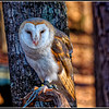 British Barn Owl - CRC