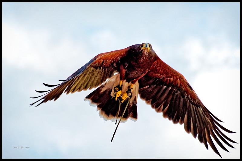 Harris Hawk, flying free - AC