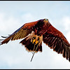 Harris Hawk, flying free - AC