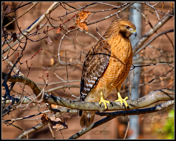 Red-Shouldered Hawk - 3 - Chapel Hill