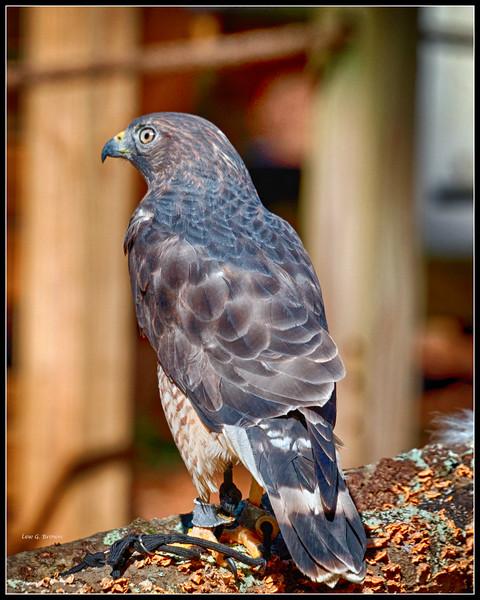 Broad-Winged Hawk - CRC