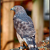 Broad-Winged Hawk - CRC