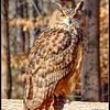 Eurasian Eagle Owl 2 - CRC