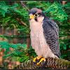 Lannar Falcon - CRC