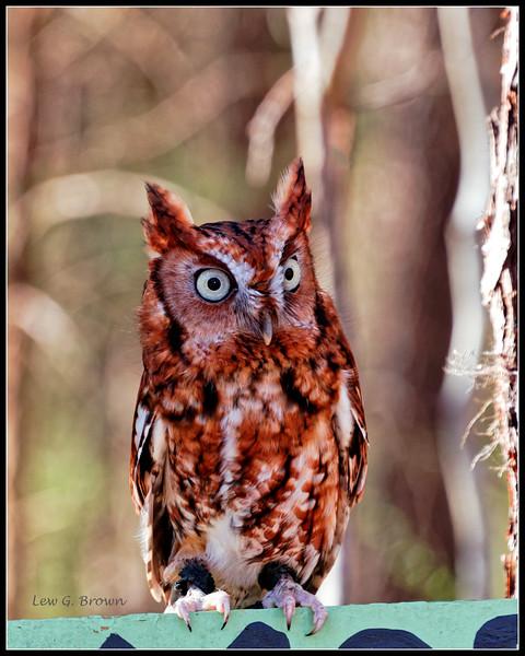 Eastern Screech Owl - CRC