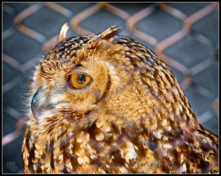 """Thoughts of Freedom"" - Savigney's Eagle Owl - AC. Taken through fence."