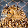 """Thoughts of Freedom"" - Savigney's Eagle Owl - AC. Taken through fence."