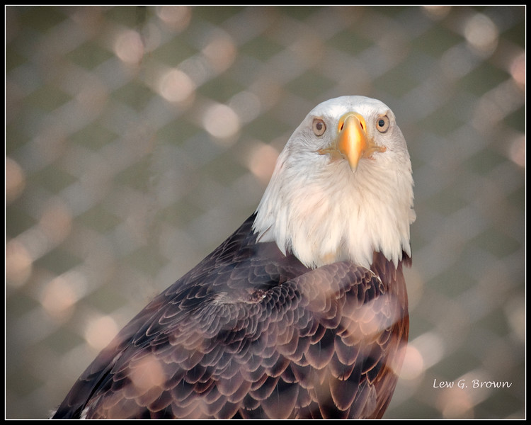 Bald Eagle (in cage) - AC