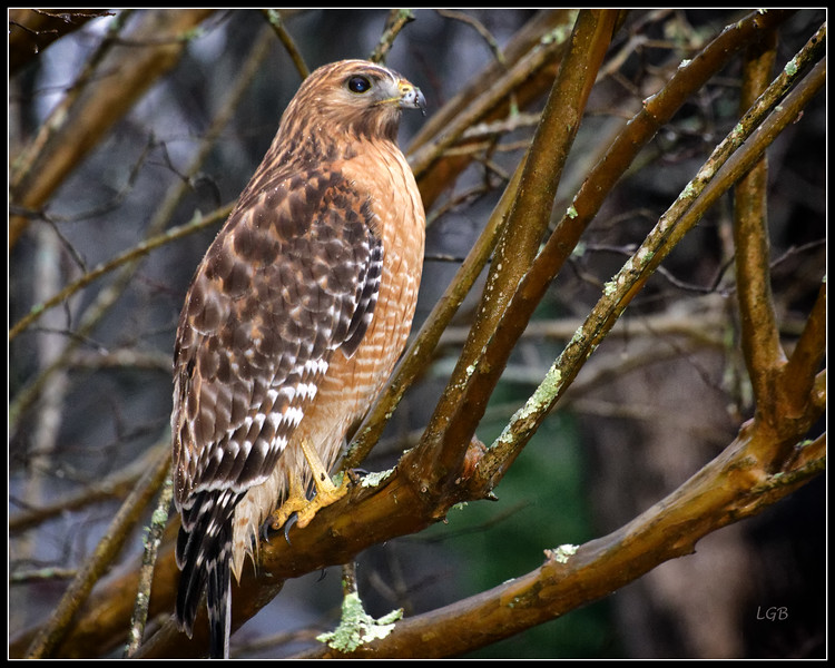 Red-Shouldered Hawk 2 - Chapel Hill (not captive)