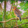 Red-Shouldered Hawk - Chapel Hill 1 (not captive)
