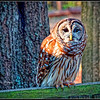 Barred Owl - CRC