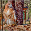 Red-Shouldered Hawk - CRC