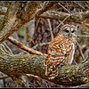 Barred Owl - Chapel Hill - 1 (not captive)